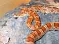 helen_kellogs_corn_snake_2_big