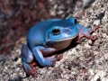 litoria-caerulea.common-green-treefrog.bt-litocaer.jpg