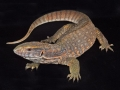 Savannah_Monitor