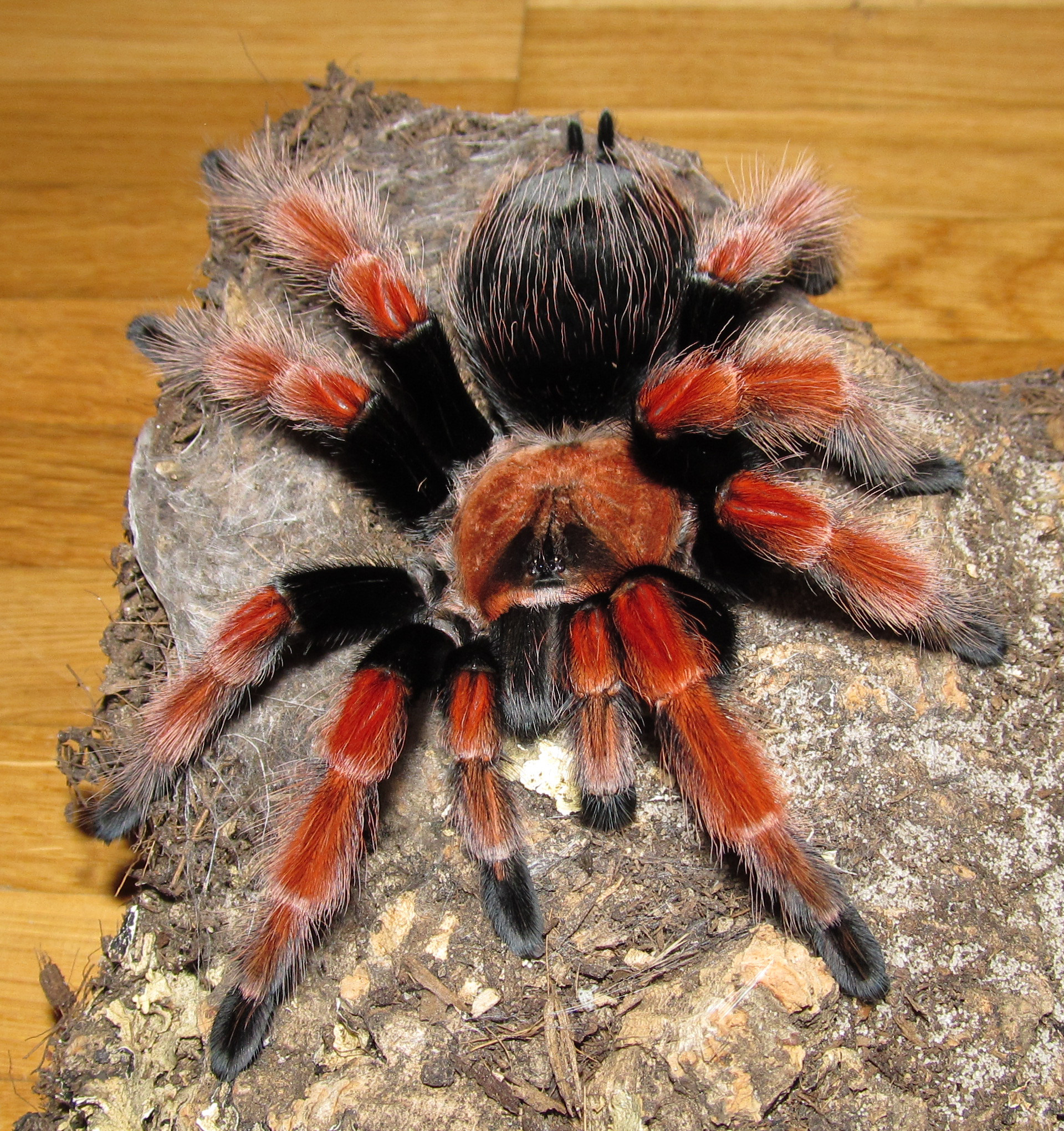Brachypelma_boehmei_-_female_ahead
