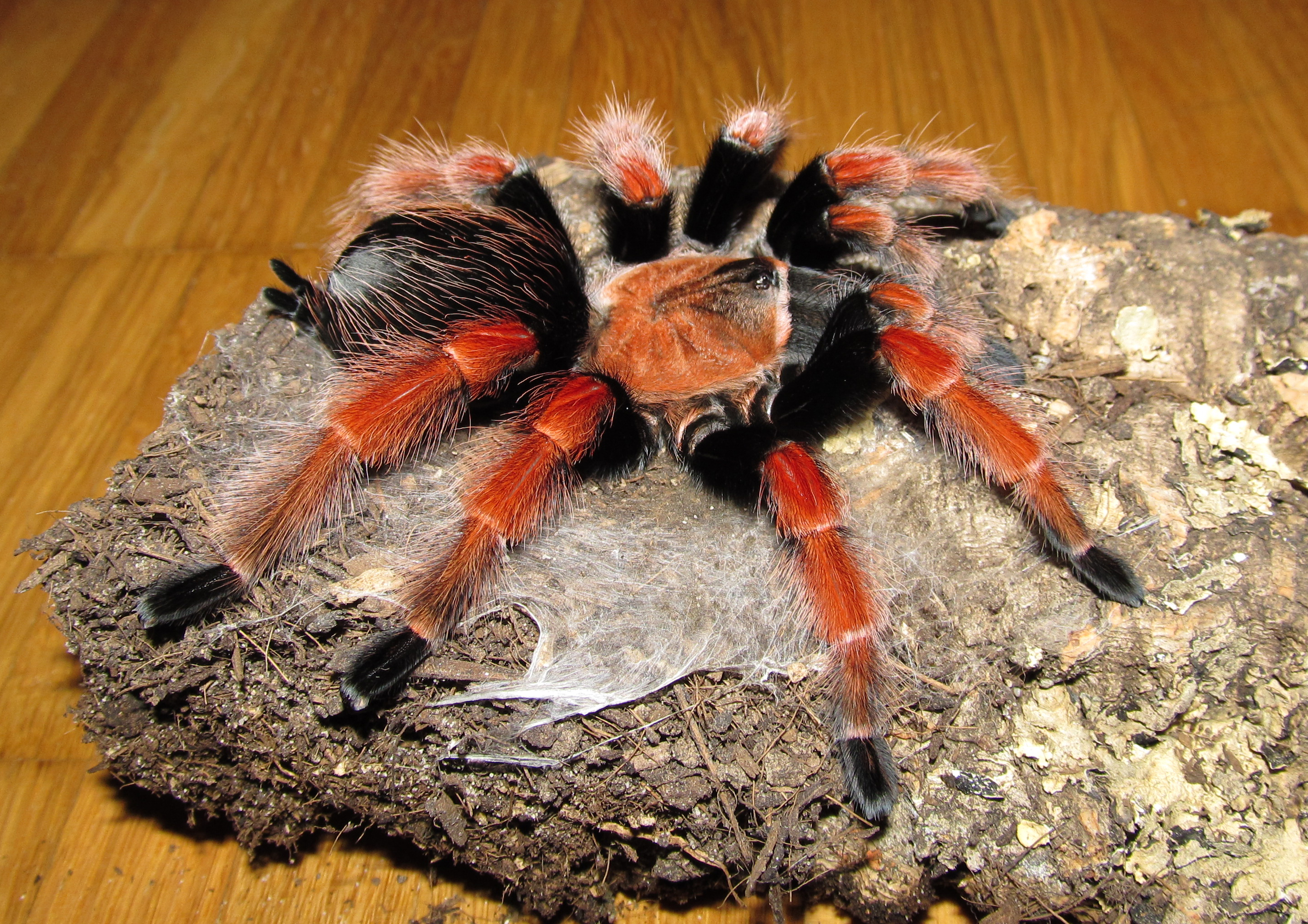 Brachypelma_boehmei_-_female_side