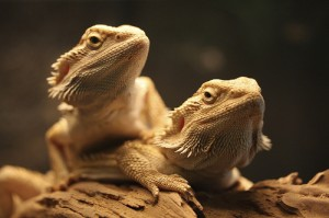 bearded-dragon-communal