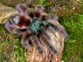 Avicularia versicolor Antilles pinktoe tarantula, captive-0413 low res
