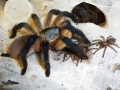 Monocentropus_balfouri__mommy__and_babies_