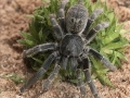 oh95-208_vogelspinne-pterinochilus-chordatus