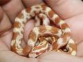 amel_corn_snake_large
