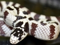 high_white_cali_kingsnake-01.jpg