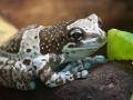 amazon-milk-frog (1).jpg