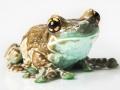 amazon-milk-frog (2).jpg