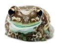 amazon-milk-frog--trachycephalus-resinifictrix-life-on-white.jpg