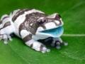 milk-frog-1.jpg