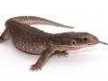 Coast2Coast-lizards-web